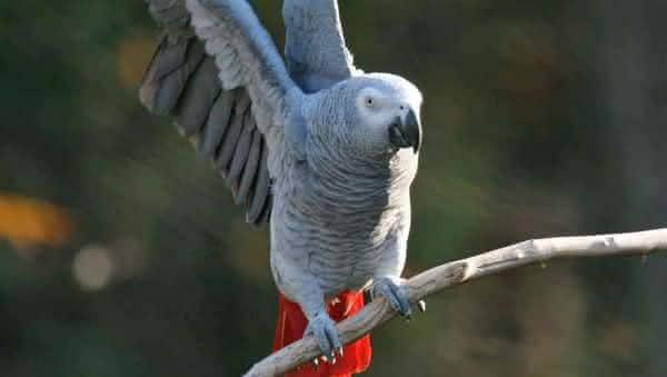 Papagaio Cinza Africano animais mais inteligentes