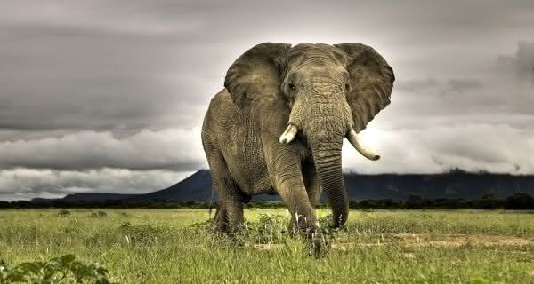 elefantes animais