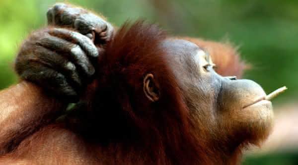orangtango o animal mais inteligente do mundo