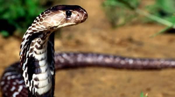 cobra real king entre os animais mais venenosos do mundo