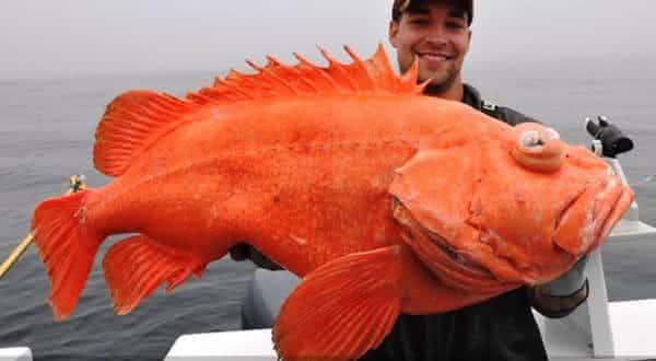 Shortraker rockfish um dos animais de vida mais longas