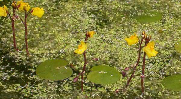 common bladderwort plantas venenosas
