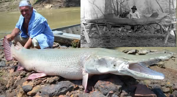 Alligator Gar entre os maiores peixes de agua doce do mundo