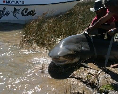 Bull Shark entre os maiores peixes de agua doce do mundo