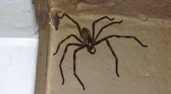 Huntsman Spider uma das maiores especies de aranhas do mundo