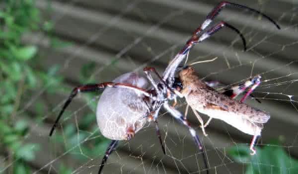 Nephila edulis entre as maiores aranhas do mundo