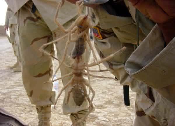 aranha camelo uma das maiores especies de aranhas do mundo