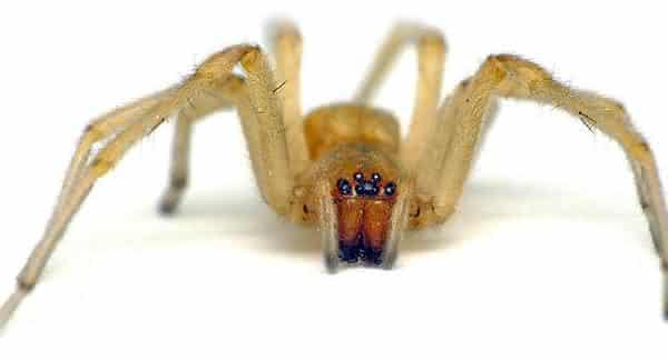 aranha saco entre as aranhas mais perigosas do mundo