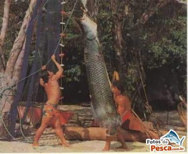 pirarucu um dos maiores peixes do brasil