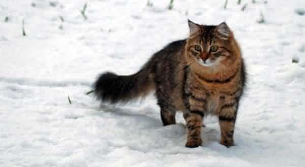 Allerca Hypoallergenic entre as racas de gatos mais caras do mundo