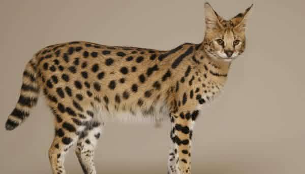 Savannah Cats entre as racas de gatos mais caras do mundo