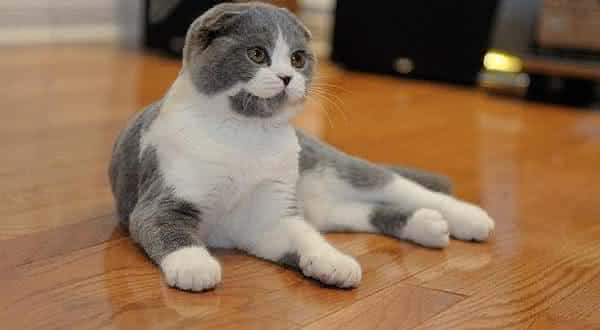 Scottish Fold entre as racas de gatos mais caras do mundo