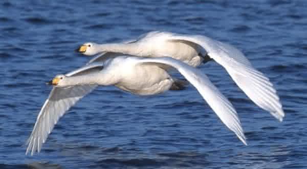 Cisne-bravo entre os maiores passaros do mundo