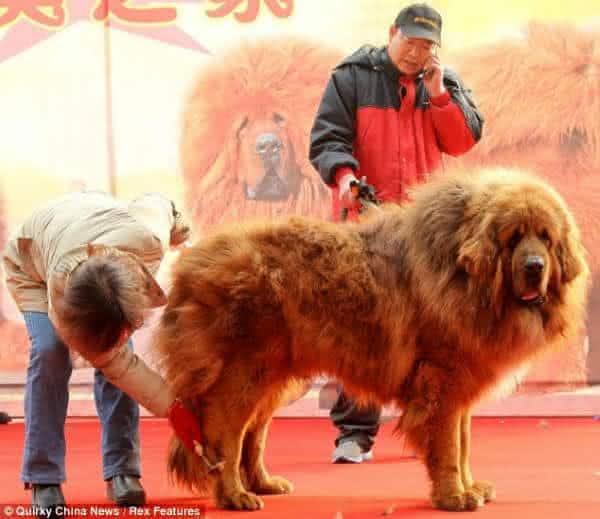 Mastim Tibetano entre as maiores racas de cachorro do mundo
