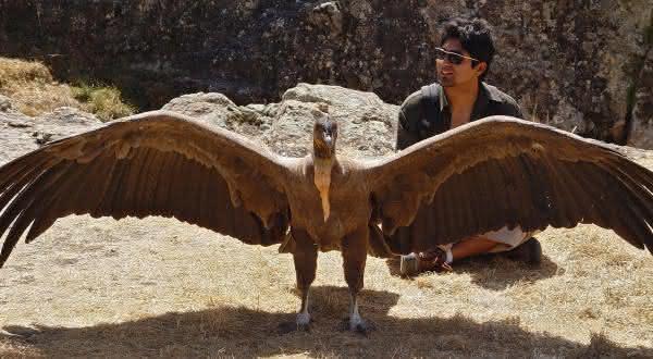 condor-dos-andes entre os maiores passaros do mundo