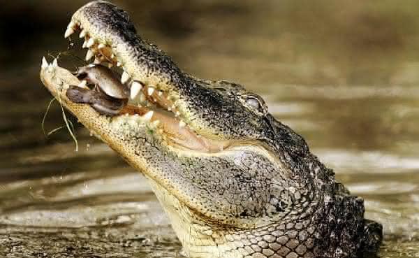 crocodilo do nilo entre as mordidas mais poderosas