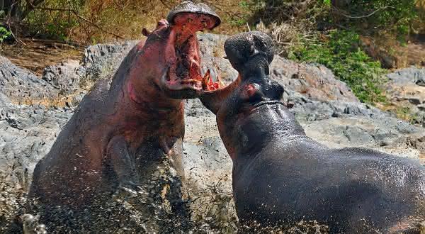 hipopotamo entre as mordidas mais poderosas
