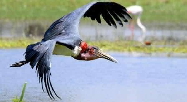 marabu entre as maiores especies de passaros do mundo