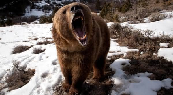 urso pardo entre as mordidas mais poderosas