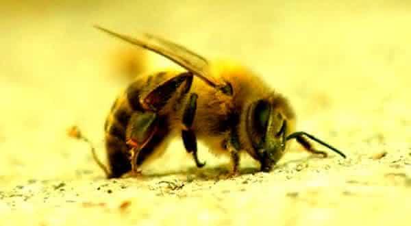 Abelhas Assassinas entre os insetos mais perigosos do mundo