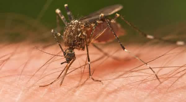 Mosquitos entre os insetos mais perigosos do mundo
