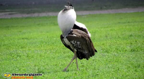 abetarda gigante entre as maiores aves do mundo