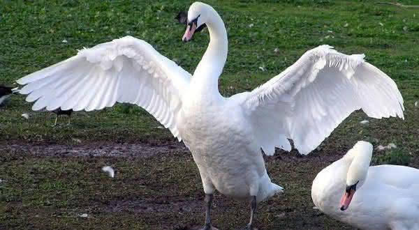 cisne branco entre as maiores aves do mundo