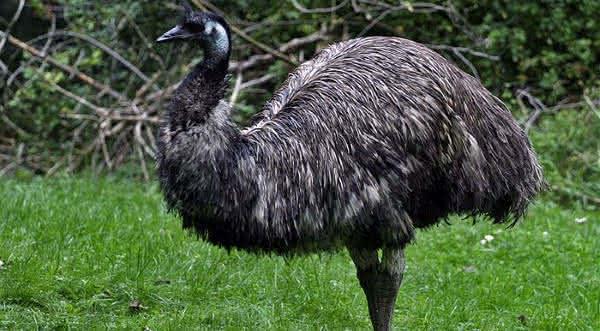emu entre as maiores aves do mundo