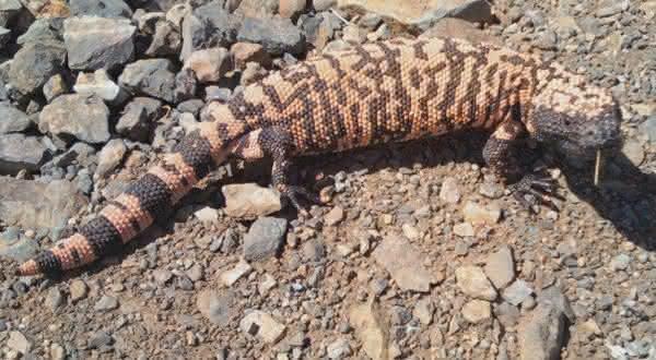 monstro de gila entre os animais mais lentos do mundo