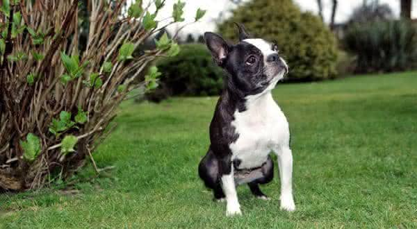 Boston Terrier entre as menores racas de caes do mundo
