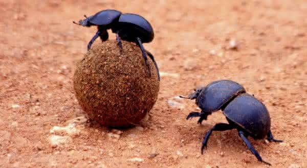 besouro dung entre os animais mais fortes do mundo