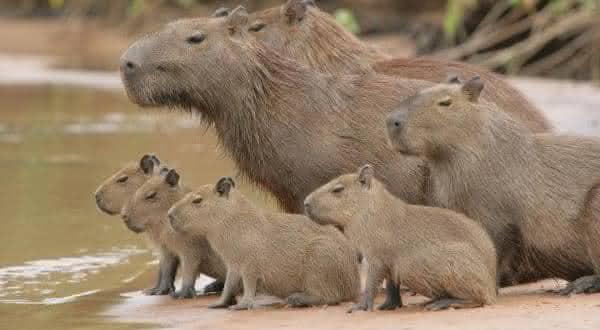capivara entre os maiores mamiferos do mundo