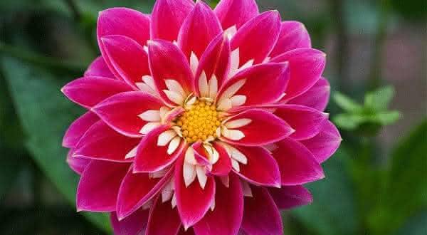 dalia entre as flores mais bonitas do mundo