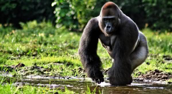 gorila da planicie oriental entre os maiores mamiferos do mundo