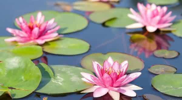 lirios dagua entre as flores mais bonitas do mundo