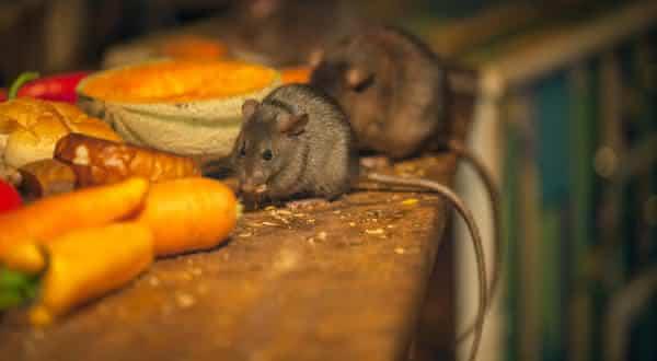 medo de rato entre os maiores medos dos seres humanos