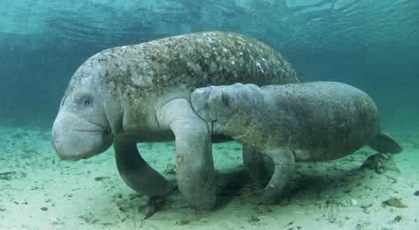 peixe boi indiano  entre os maiores mamiferos do mundo