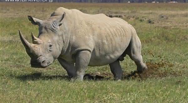 rinoceronte branco entre os maiores mamiferos do mundo