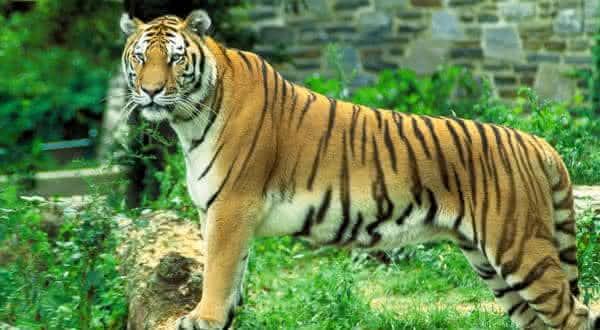 tigre entre os animais mais fortes do mundo