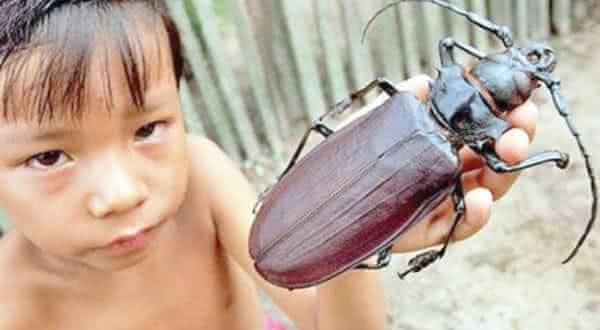 titanus giganteus entre os maiores insetos do mundo