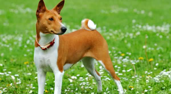 Basenji entre as racas de caes menos inteligentes do mundo