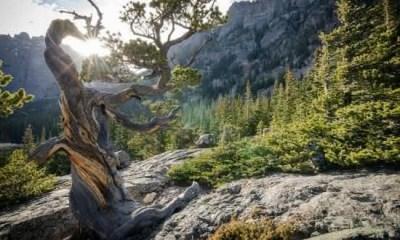 Top 10 árvores mais antigas do mundo
