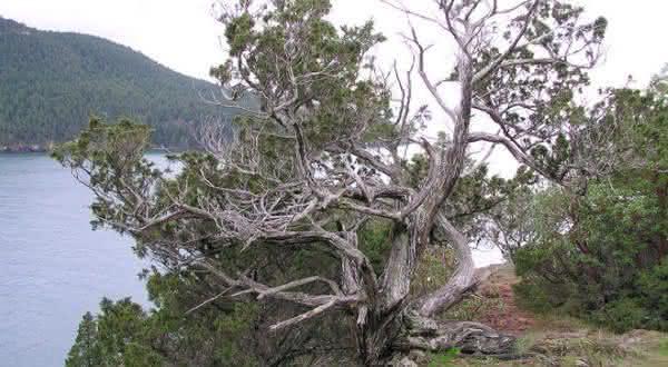Rocky Mountain Juniper entre as arvores mais antigas do mundo
