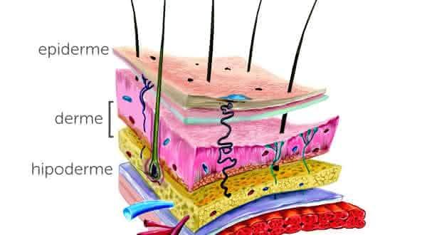 pele entre os maiores orgaos do corpo humano