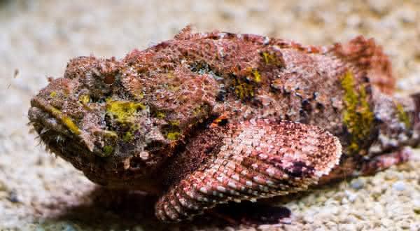 Peixe-pedra entre os peixes mais perigosos do mundo