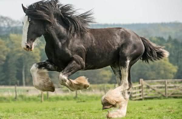 Clydesdale entre as racas de cavalos mais caras do mundo