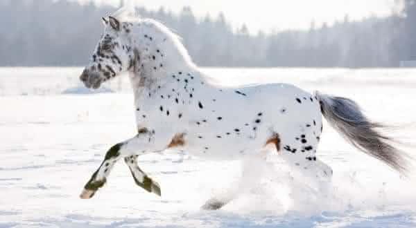 appaloosa  entre as racas de cavalos mais caras do mundo