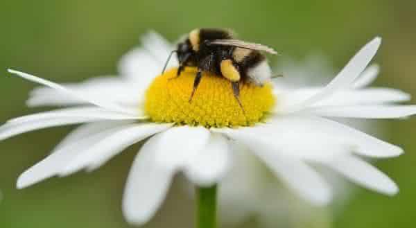 abelhas nectar entre os fatos interessantes sobre a cafeina