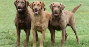 Top 10 raças de cães mais fáceis de treinar