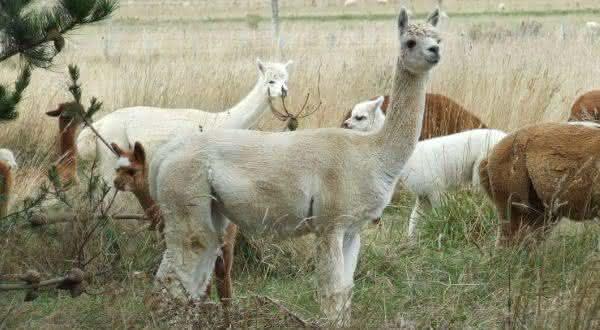 Alpaca entre os estranhos animais que voce nao sabia que existiam